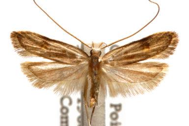 Lecithocera sobria