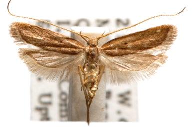 Lecithocera terrena