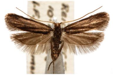 Lecithocera terrigena