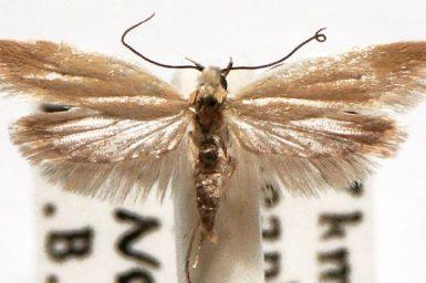 Liparistis lioxera