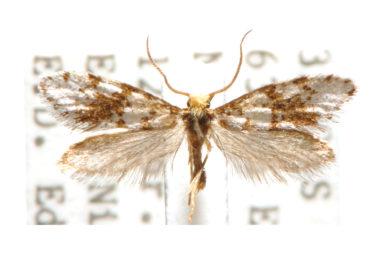 Lophocorona astiptica