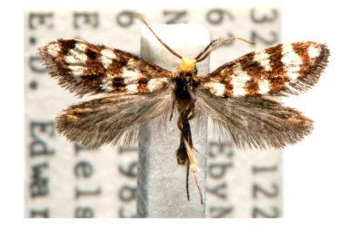 Lophocorona commoni