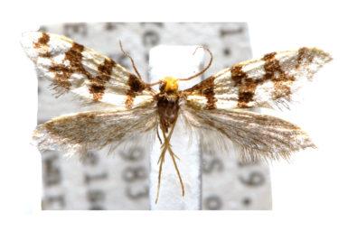 Lophocorona flavicosta