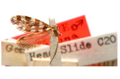 Lophocorona melanora