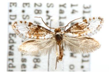 Lophocorona pediasia