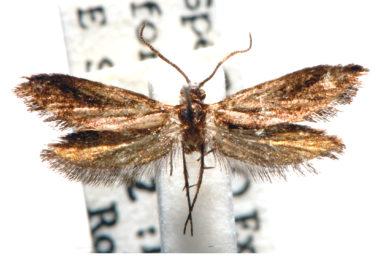 Lophocorona robinsoni