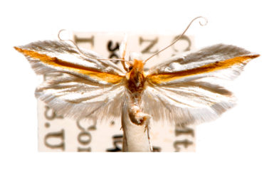Macarangela leucochrysa