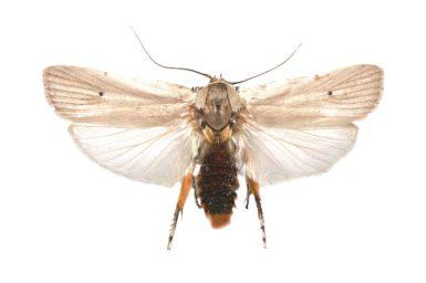 Maroga setiotricha