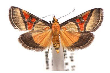 Metallarcha calliaspis