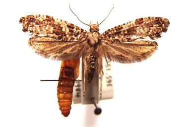 Morophaga clonodes