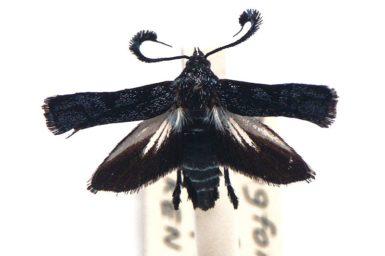 Mylocera tenebrifera