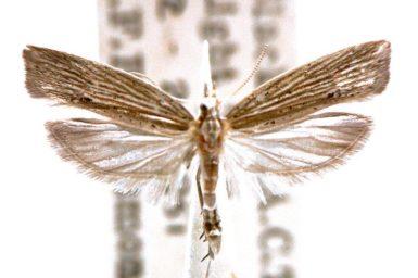 Nag psammochroa