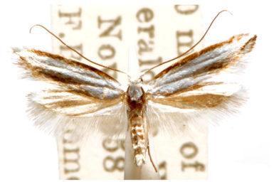 Nematobola candescens