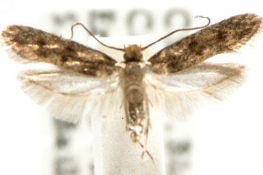 Niditinea fuscella