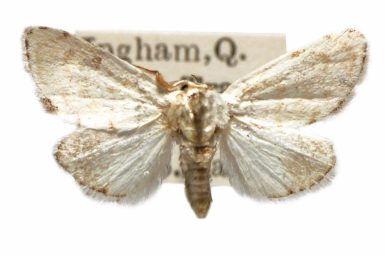 Niphopyralis chionesis