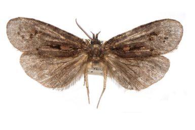 Notiophanes fuscata
