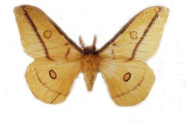 Opodiphthera astrophela