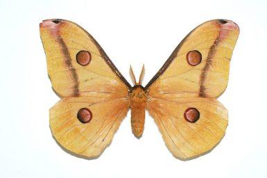 Opodiphthera carnea
