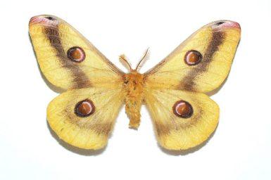 Opodiphthera engaea