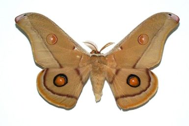 Opodiphthera eucalypti