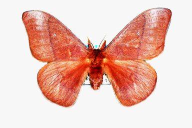 Opodiphthera excavus