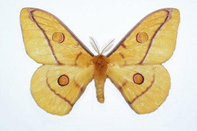 Opodiphthera fervida