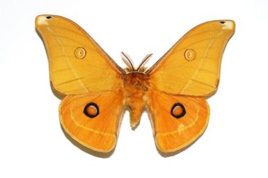 Opodiphthera helena