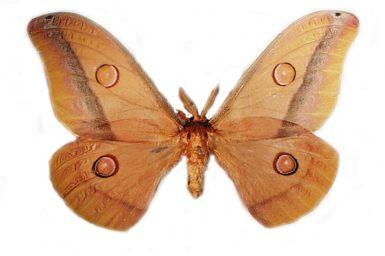 Opodiphthera loranthi
