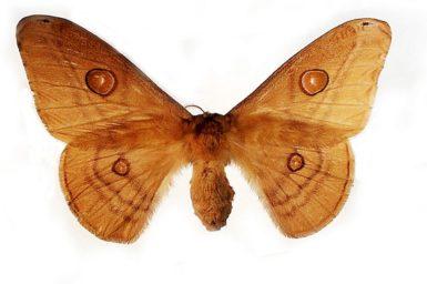 Opodiphthera rhythmica