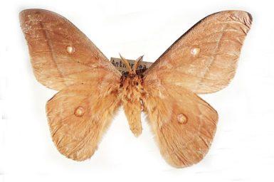 Opodiphthera saccopoea