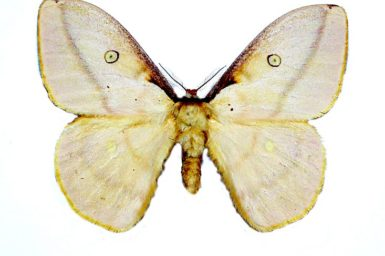 Opodiphthera sulphurea