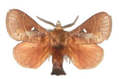Opsirhina albigutta