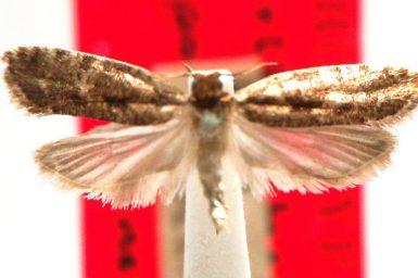 Orthenches liparochroa