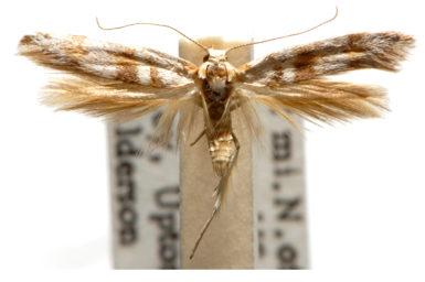 Paratheta calyptra