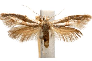 Paratheta ochrocoma