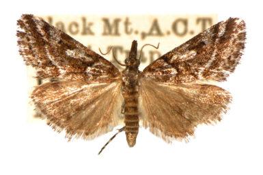 Phanomorpha dapsilis