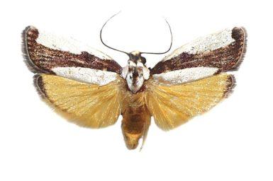 Philarista porphyrinella