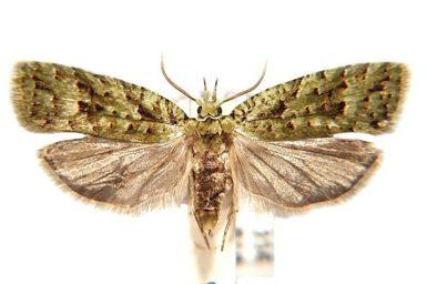 Phycomorpha prasinochroa