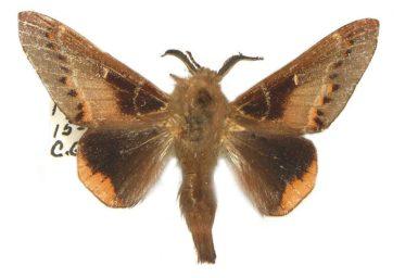 Pinara metaphaea