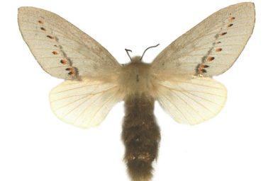 Pinara obliqua