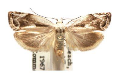 Plectophila discalis