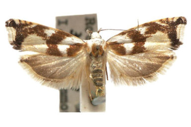 Plectophila eucrines