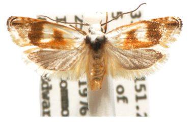 Plectophila pyrgodes