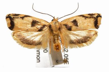 Plectophila thiophanes