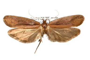 Proditrix nielseni