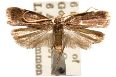 Protolychnis trigonias