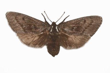 Ptilomacra senex
