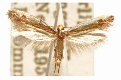 Ptyssoptera acrozyga