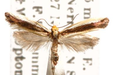 Ptyssoptera lativittella