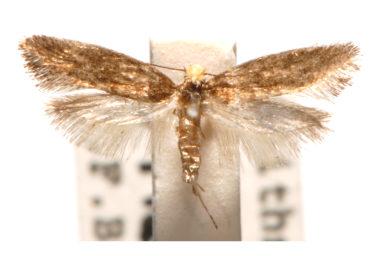 Ptyssoptera melitocoma